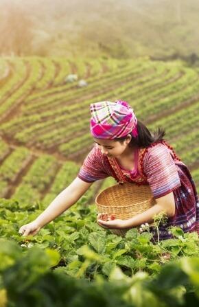 בחורה קוטפת תה בשדה