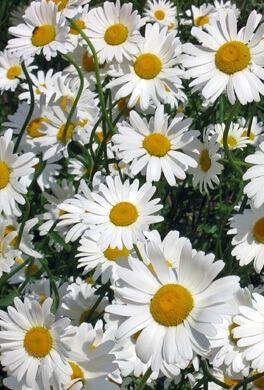 פרחי חמניה